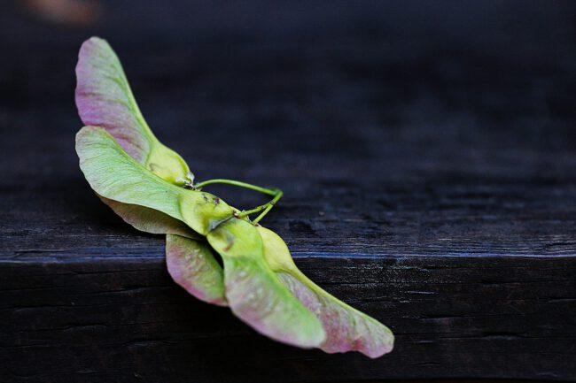 Was bedeutet Fliegen, der Ahornsamen stand schon in den 1913er Jahren Modell für eine Propellermaschine