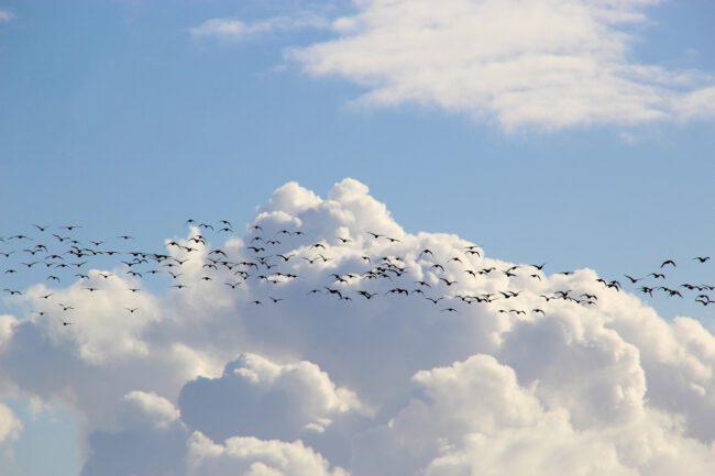 Zugvögel verbreiten Samen von Beeren und Bäumen über weite Strecken bis Afrika.